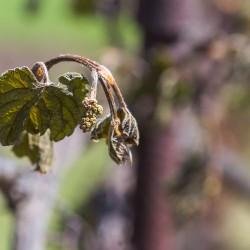 Frühlingsfrost : Massnahmen im Rebberg zur Schadensreduzierung
